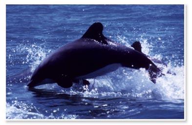 .::Delfín Negro y Tonina Eutropia